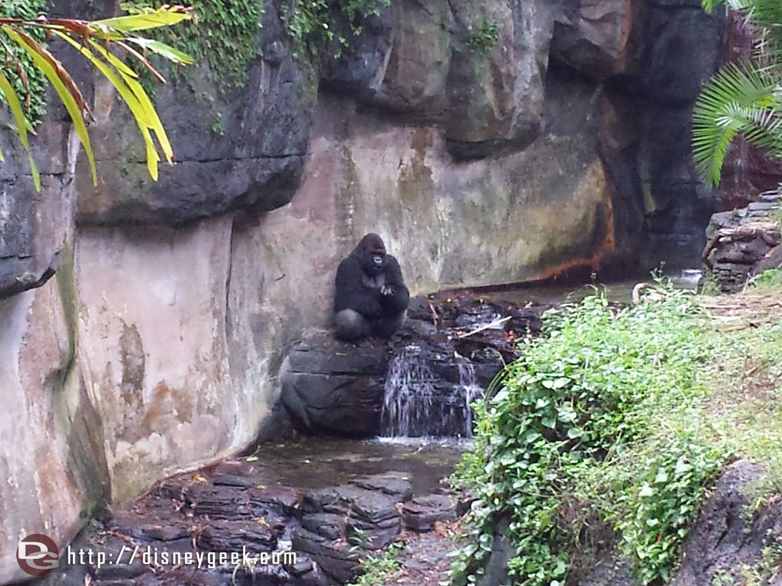 Pangani Forest – A male gorilla sitting in a stream #WDW