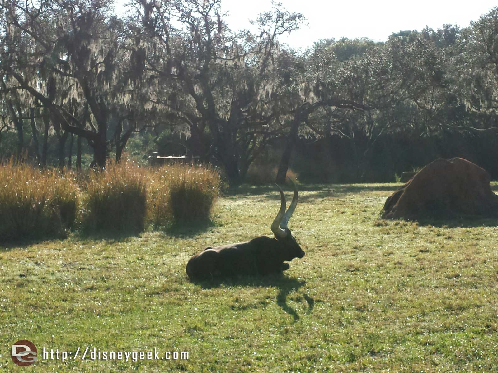 A quiet morning on the savanna –  Ankole Cattle – Disney's Animal Kingdom