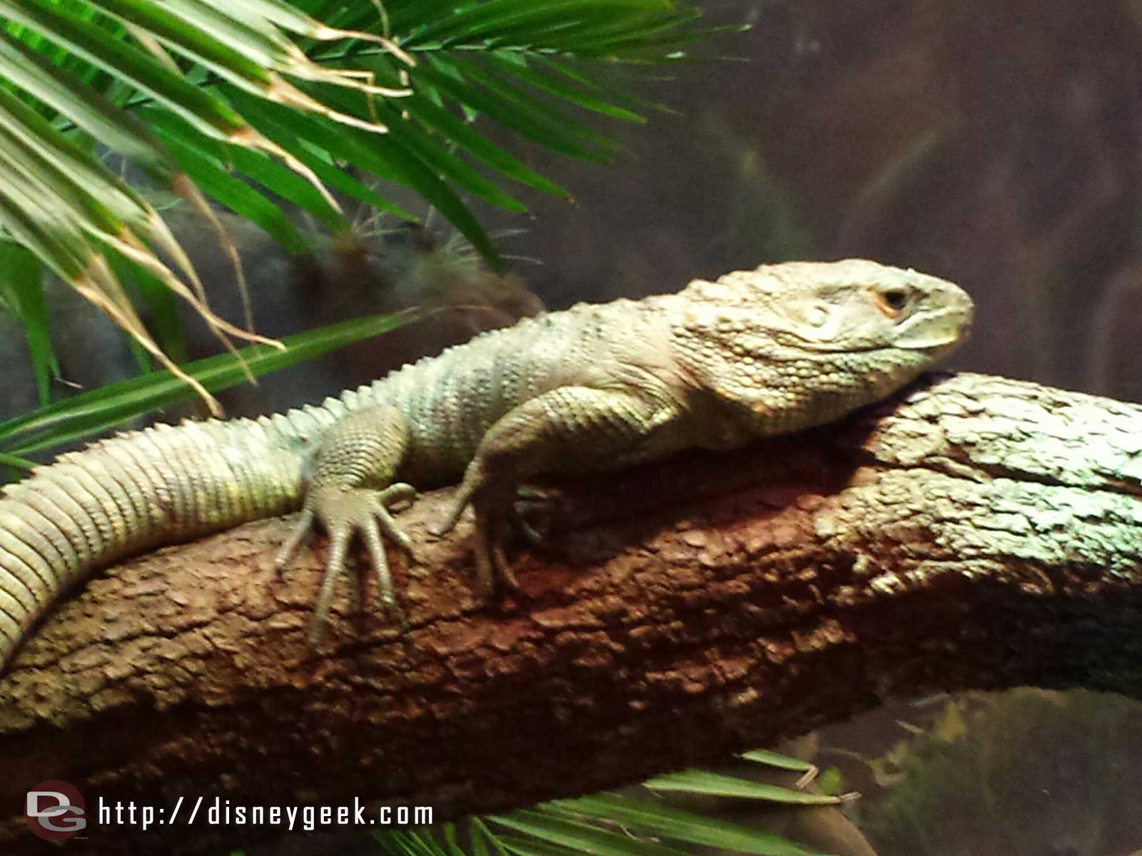 Caiman Lizard at Conservation Station -Disney's Animal Kingdom