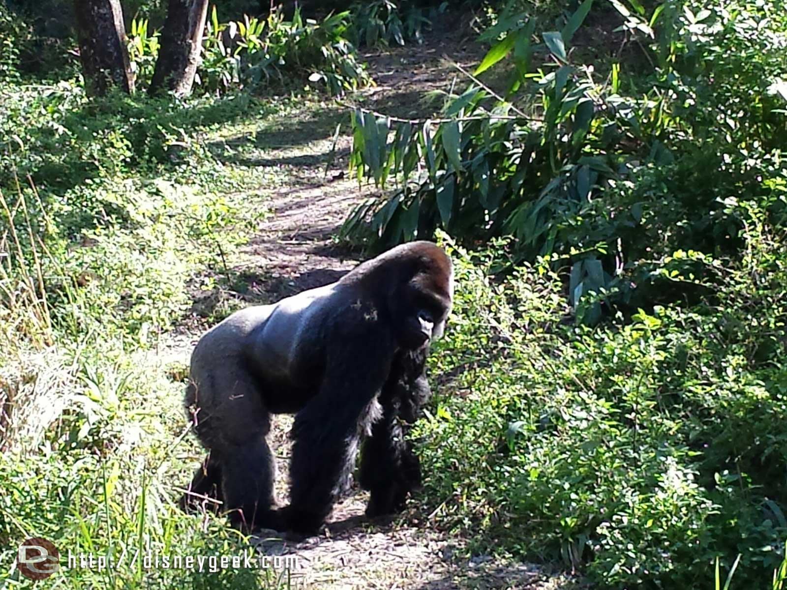 A male gorilla in Panfani Forest –  Disney's Animal Kingdom
