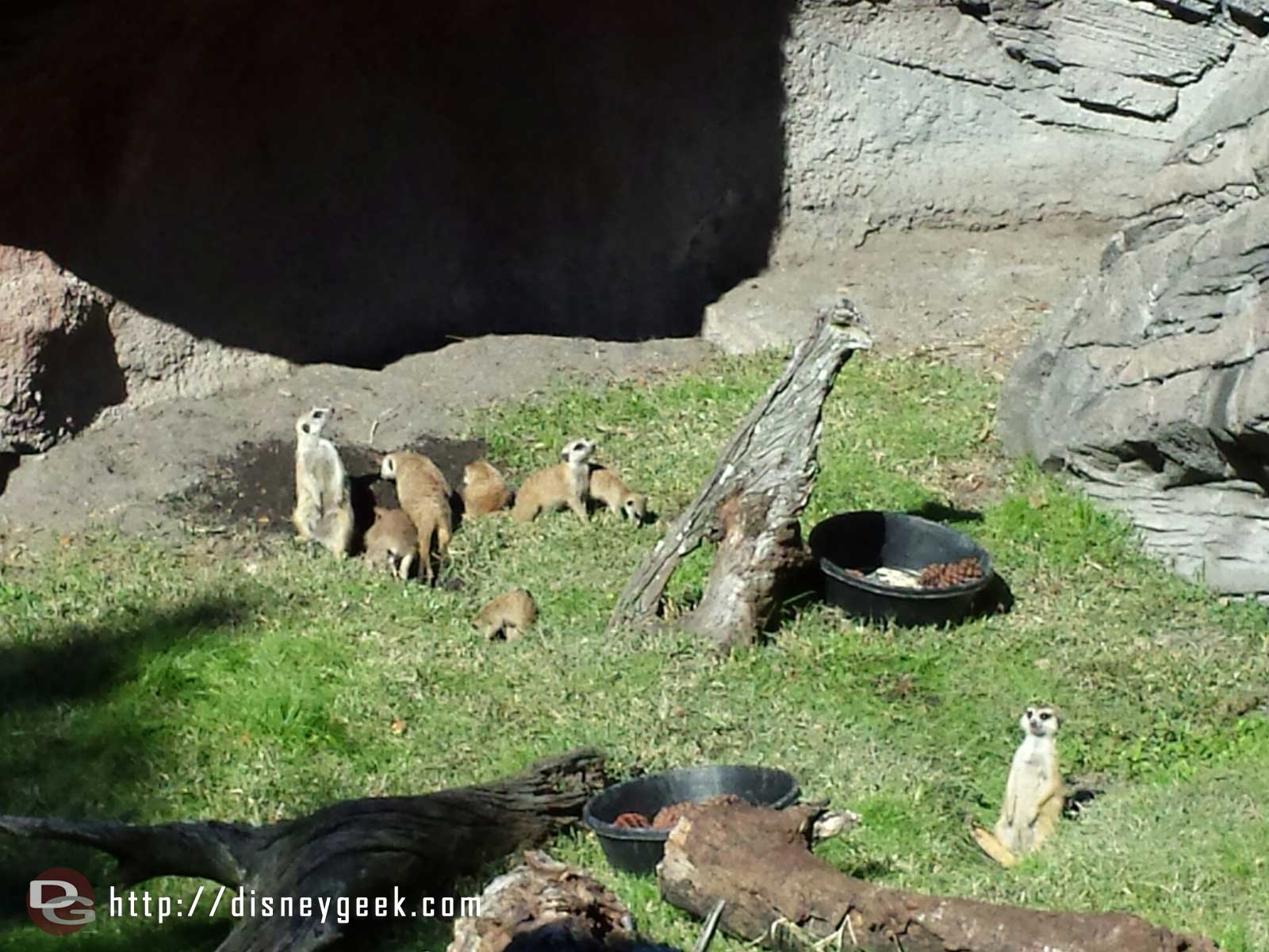 Meerkats along the Pangani Forest trail – Disney's Animal Kingdom