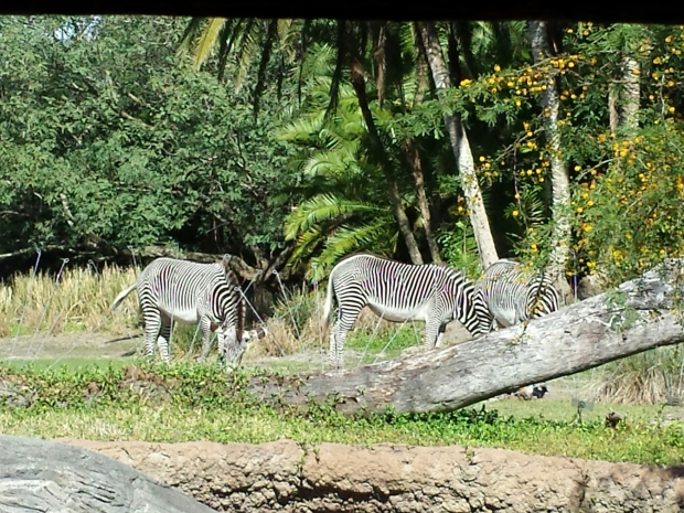 Zebra were out near the Meerkats in the Pangani Forest Outlook area.