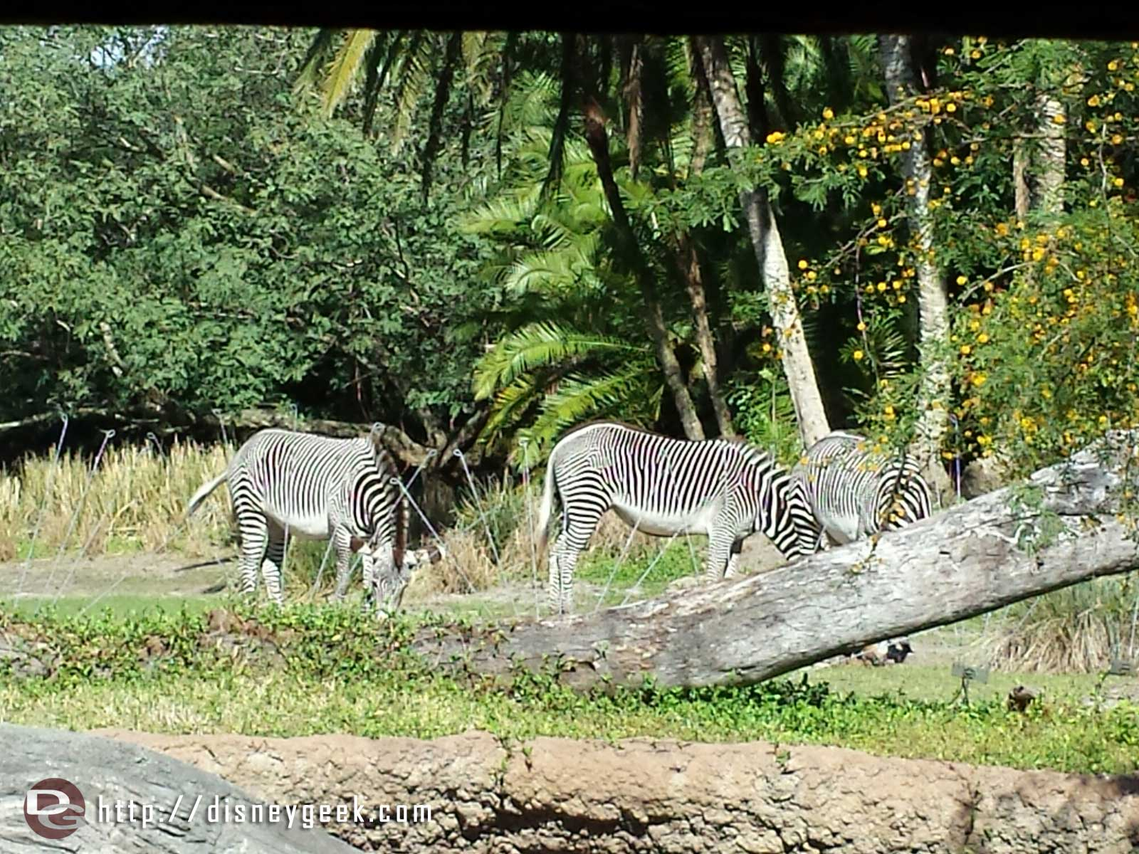 Zebras at the outlook on the Pangani Forest trail – Disney's Animal Kingdom