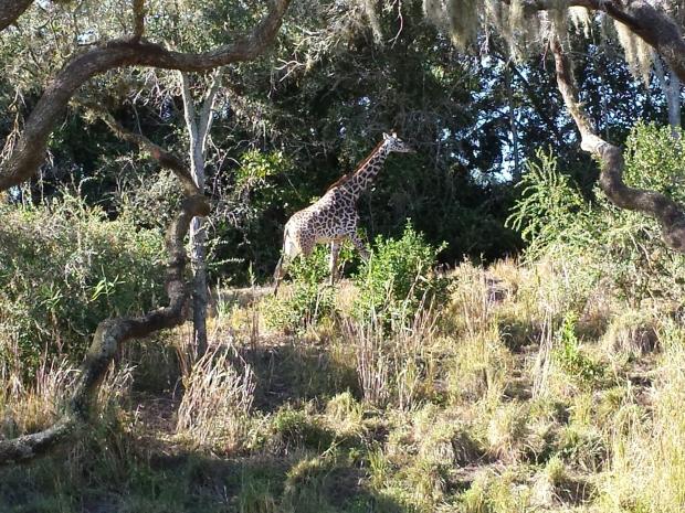 A giraffe on the savanna.