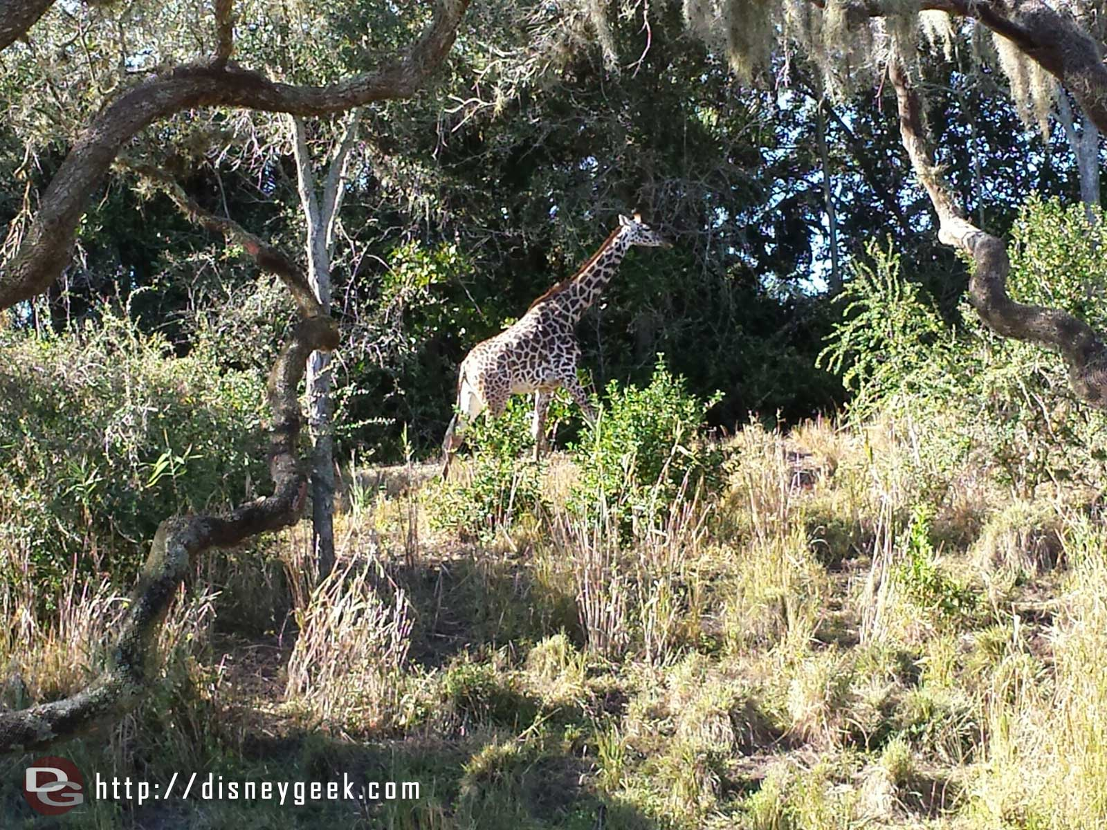 A giraffe on the savanna.