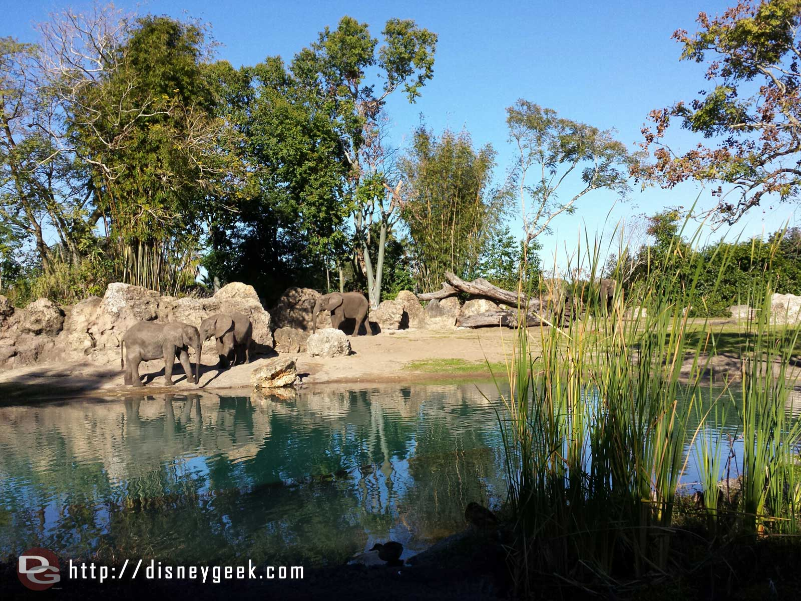 Kilimanjaro Safari – elephants – #WDW Disney's Animal Kingdom