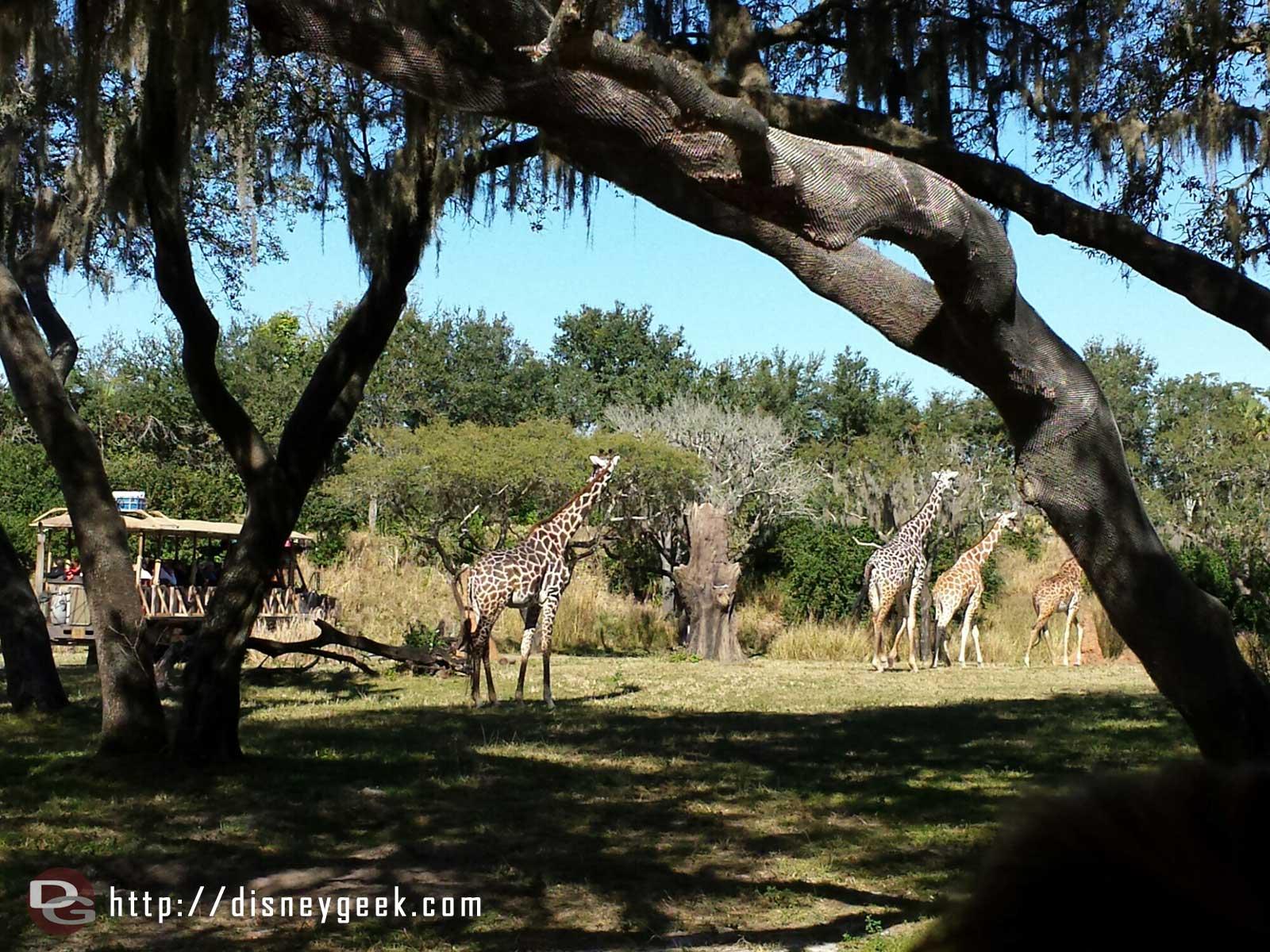 Giraffe on the Kilimanjaro Safari at Disney's Animal #WDW