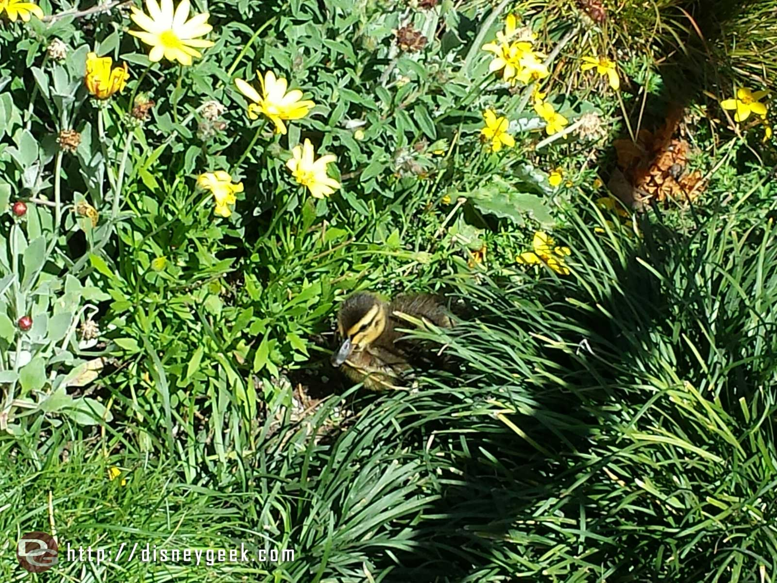 Several ducklings in the plants along the walkway to Frontierland #Disneyland #DisneyDucks