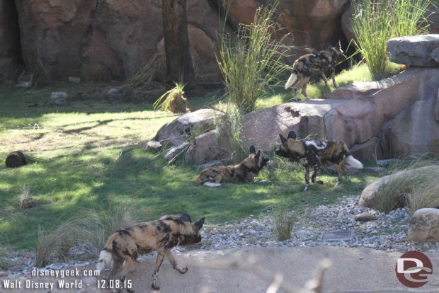 African Painted Dogs on the Kilimanjaro Safari at Disney's Animal Kingdom