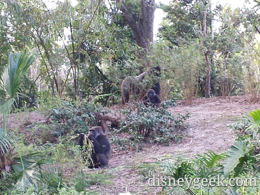 Gorillas in the Pangani Forest at Disney's Animal Kingdom