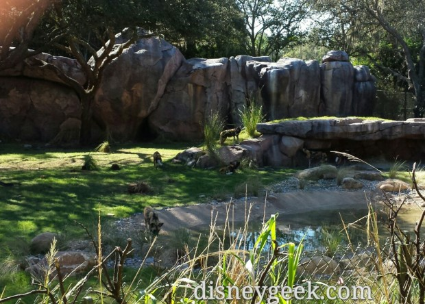 A recent addition to the Kilimanjaro Safari - African Painted Dogs