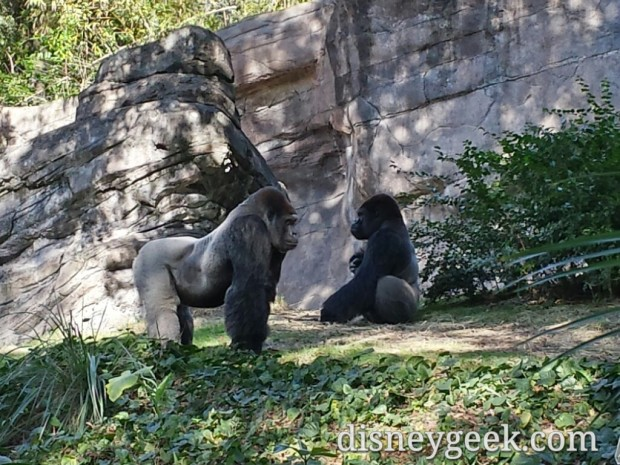 Two male gorillas in Pangani Forest