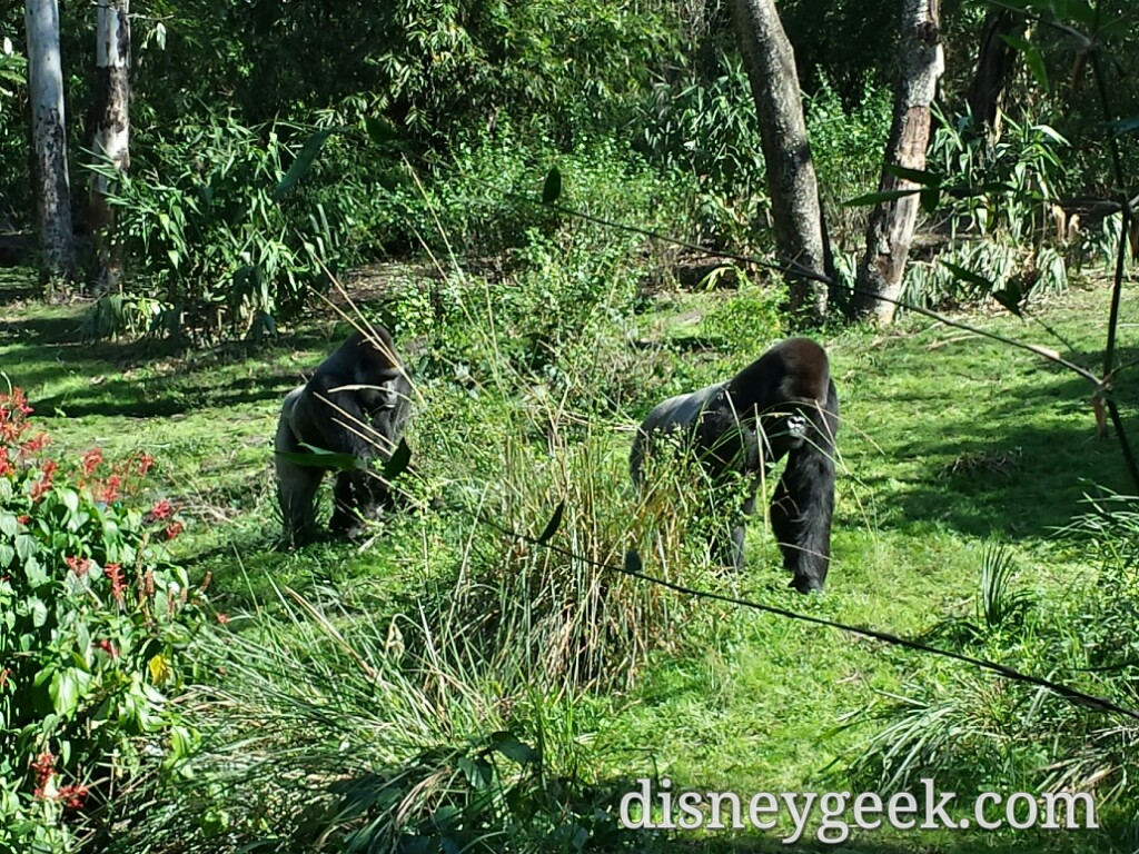 Gorillas on the move in Pangani Forest at Disney's Animal Kingdom