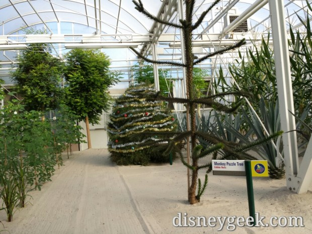 A Christmas Tree in the greenhouse
