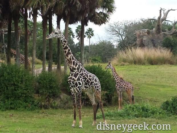 Giraffes on the Kilimanjaro Safari