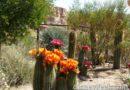 Cactus in bloom along Cross Street in #CarsLand