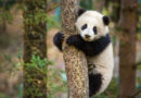 "Disneynature's ""Born in China"" Earth Day Trailer & Images"