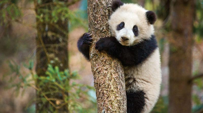 "Disneynature ""Born in China"" - Panda"