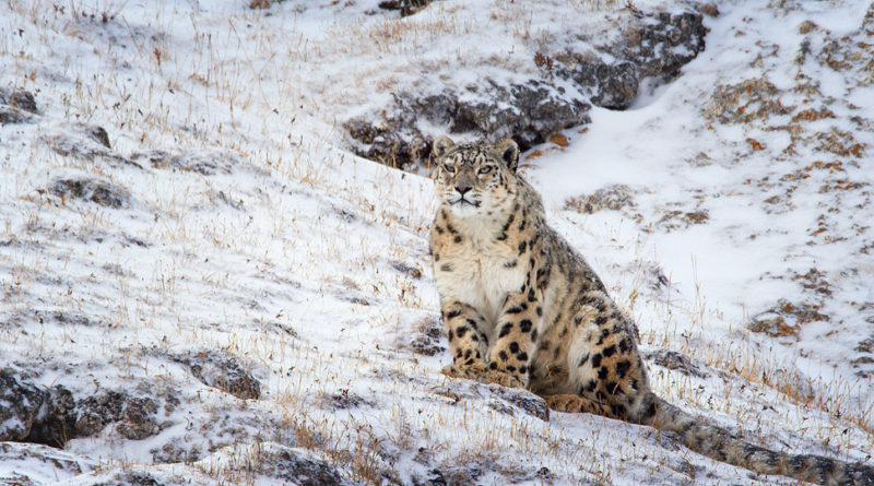 "Disneynature ""Born in China"" - snow leopards"