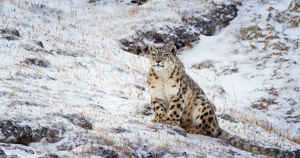 """Disneynature """"Born in China"""" - snow leopards"""