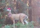 A deer with holiday spirit in the Redwood Creek area