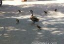 #DisneylandDucks out for a walk in the hub