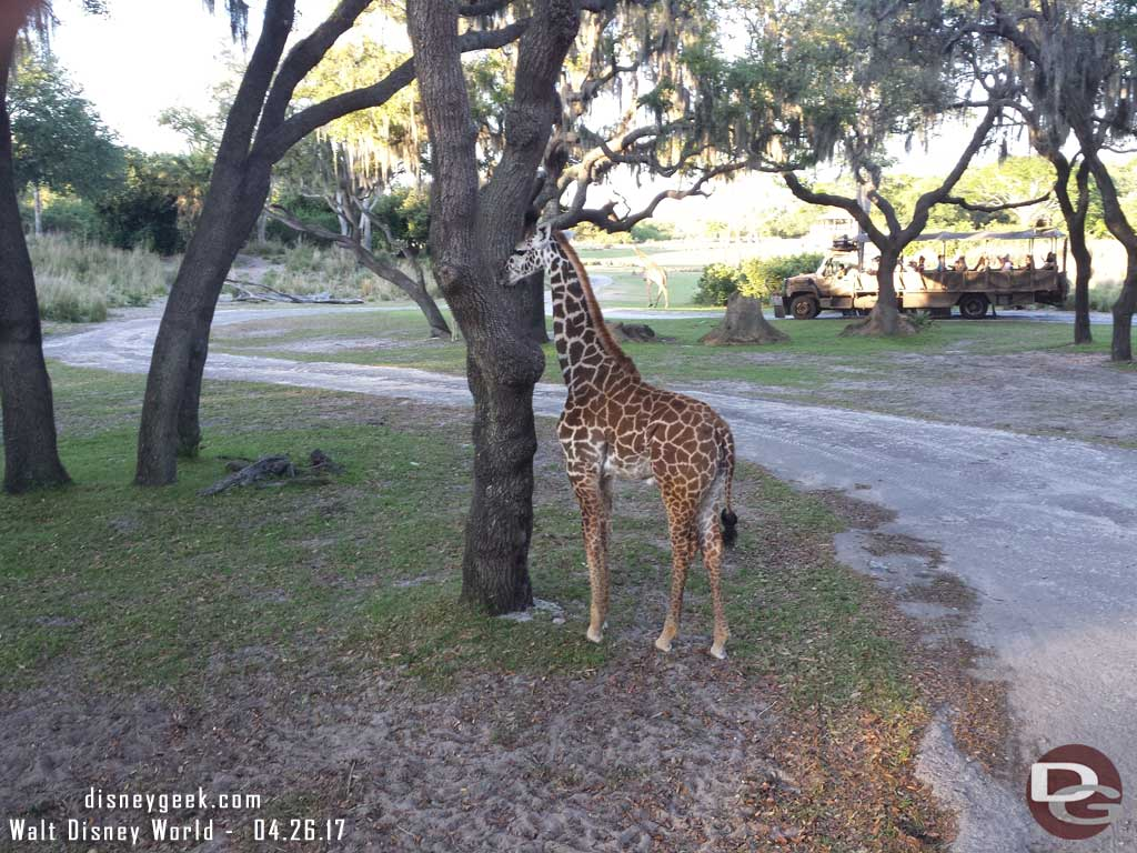 A young giraffe near the road on Kilimanjaro Safari