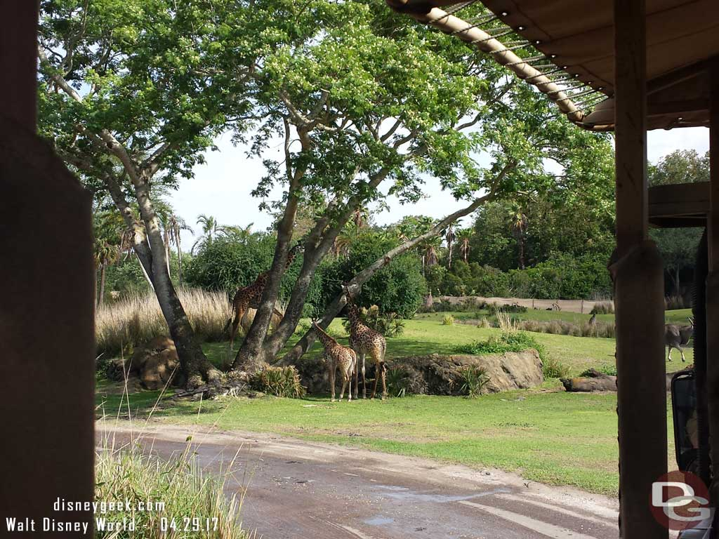 Giraffe on Kilimanjaro Safari