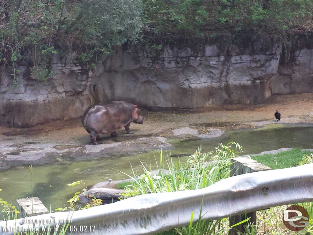 A hippo out of the water and on the move