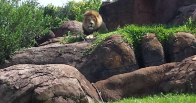 Kilimanjaro Safari - Lion - Featured