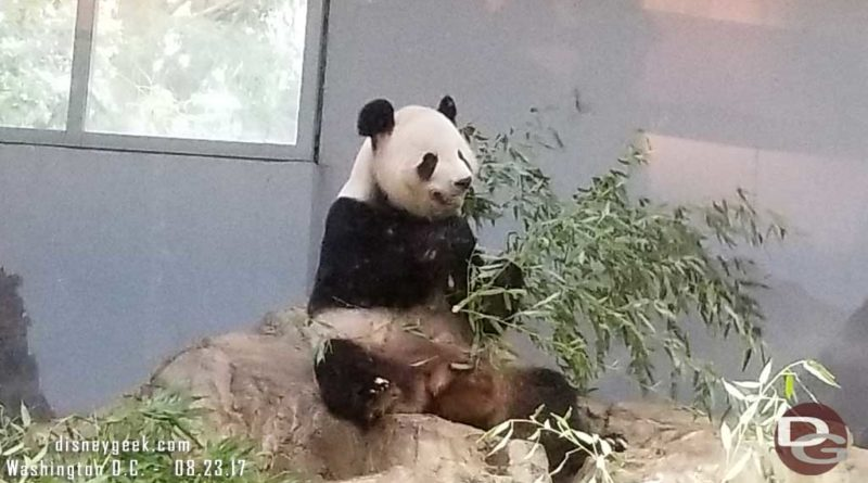 Tian Tian found a spot to sit and eat a snack.