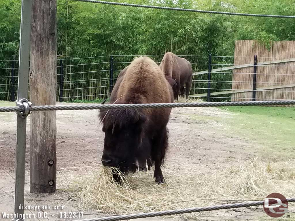 Bison along the American Trail.