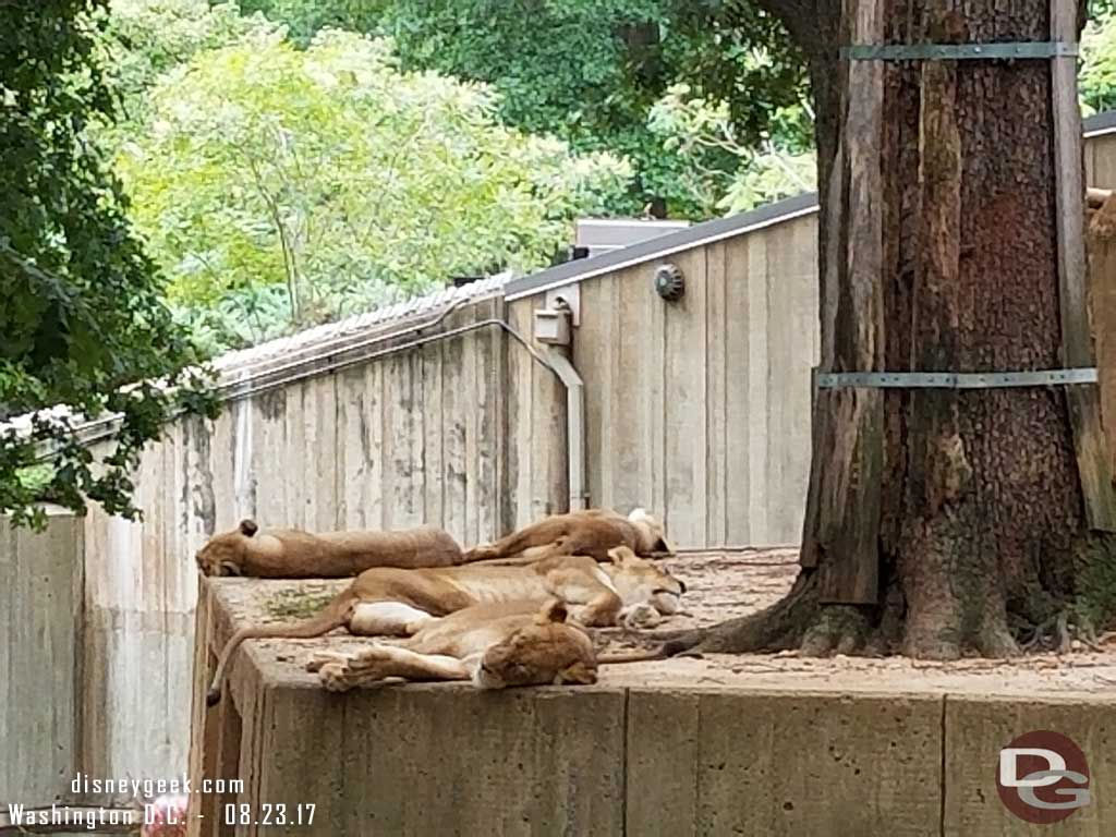 A pride of lions doing what they normally do during the day... nothing.