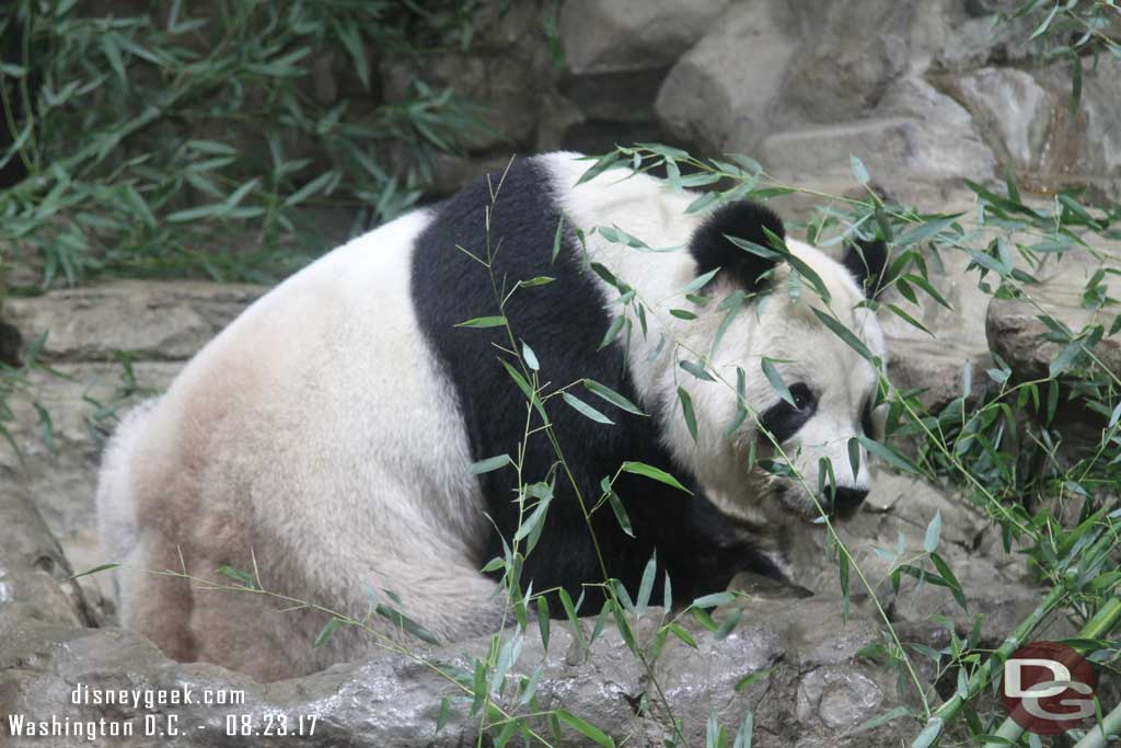 Panda at the National Zoo in Washington D.C.