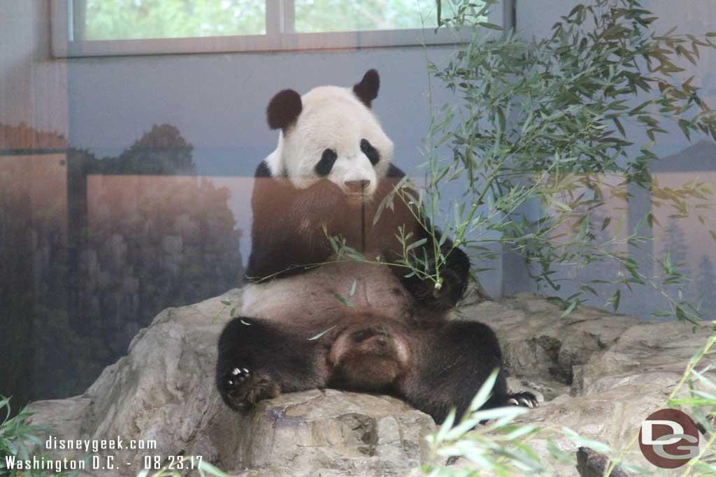 Panda at the National Zoo in Washington D.C.