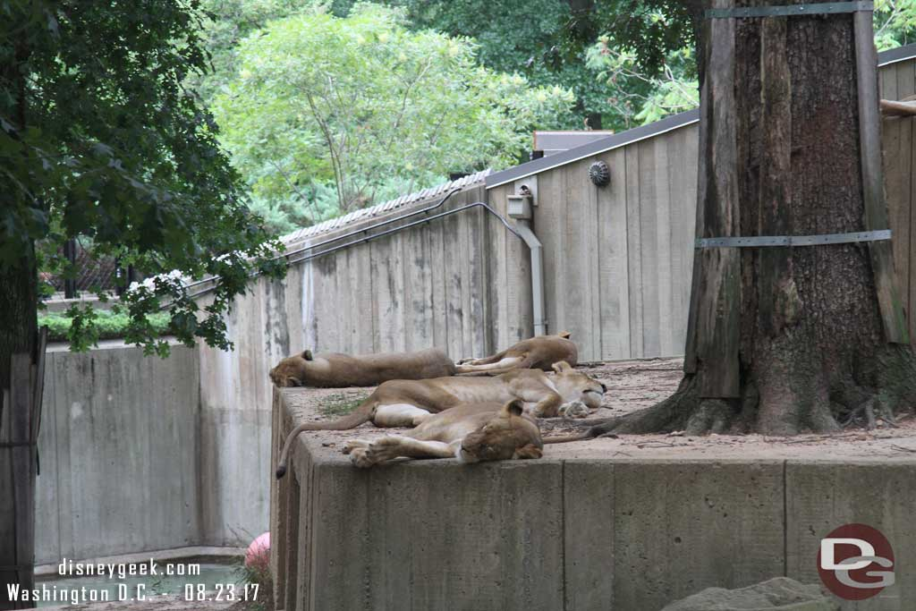 Lions at the National Zoo in Washington D.C.