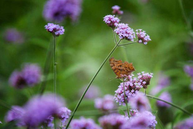 Vanessa Butterfly