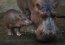 Introducing Augustus – Baby Hippo Born at Disney's Animal Kingdom is a Boy!