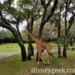 Pictures from a Kilimanjaro Safari Journey at Disney's Animal Kingdom