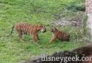 Tiger Cubs & Mom at Disney's Animal Kingdom (several pictures)