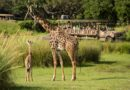 Meet Aella – A Masai Giraffe Calf & new resident on the savanna at Disney's Animal Kingdom