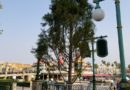 Some of the trees around Paradise Bay are being replaced, here is a new one