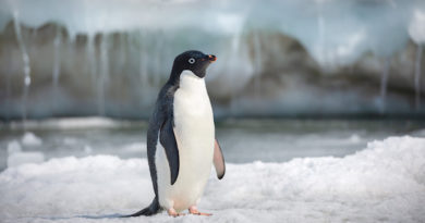 "Disneynature's ""Penguins"": Maggie's Review"