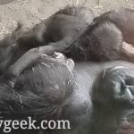 Pictures: Gorilla Falls including Baby Grace at Disney's Animal Kingdom