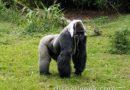 Silverback Gorilla along the trail in Gorilla Falls