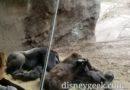 A family of Gorillas in Gorilla Falls