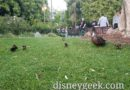 A family of Ducks near the hub at Disneyland