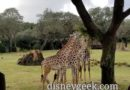 WDW Pictures: Africa & Kilimanjaro Safari @ Disney's Animal Kingdom
