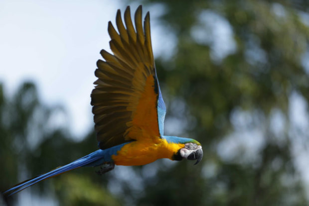Blue and gold macaw Gryffin in flight at Winged Encounters – The Kingdom Takes Flight. (Disney)