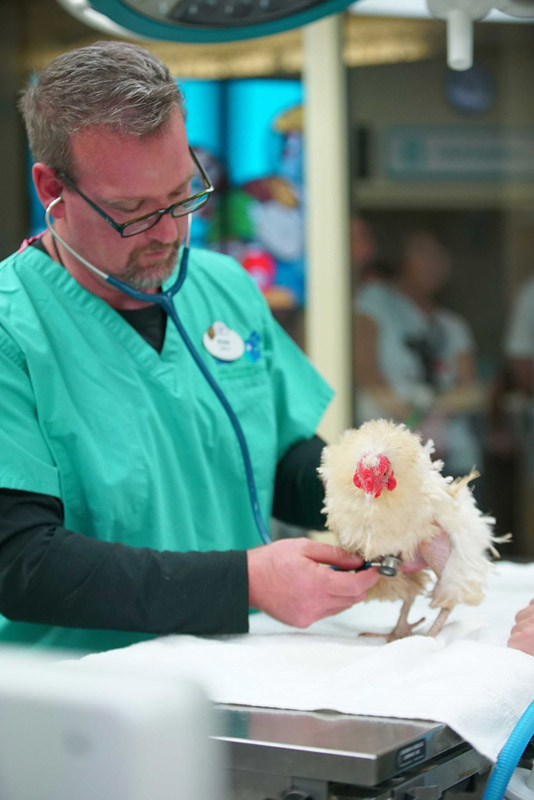 Dr Ryan De Voe performs a checkup on Popcorn, the Frizzle chicken, who recently underwent reproductive surgery. (Disney)